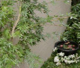 植栽 イロハモミジ