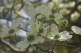 植栽 ハナミズキ (白花)