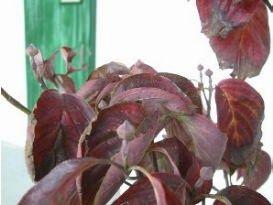 植栽 ハナミズキ (赤花)