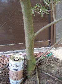 植栽 オリーブ (ネバディロブロンコ)