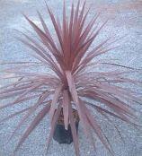 植栽 コルディリネ オーストラリス アトロプルプレア